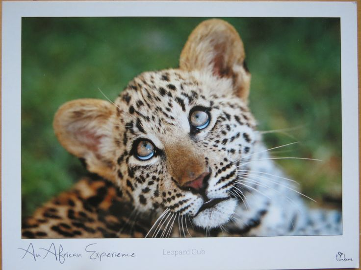 young leopard in Botswana