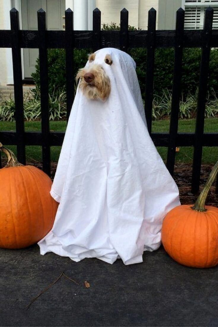 ghost dog photo #Dogcostumes Dog halloween, Diy dog costumes