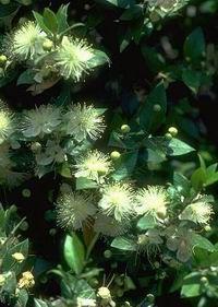LE MYRTE...Emblématique de la flore Corse - Le blog A FLEUR DE MONTAGNE