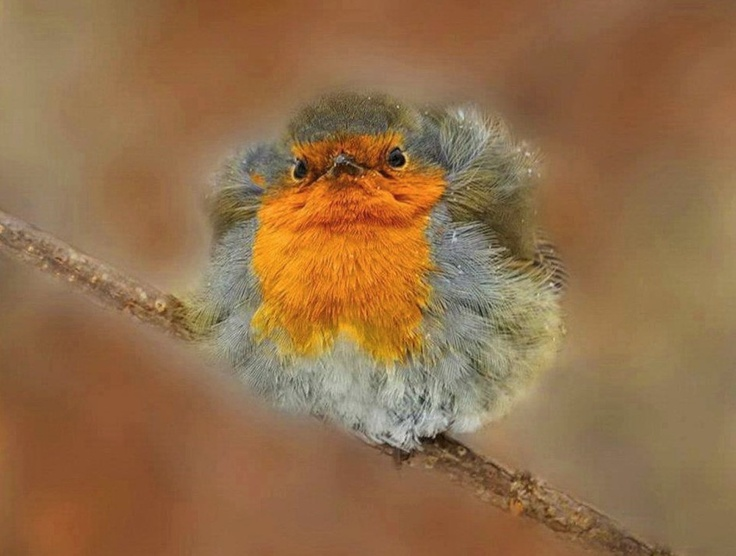 ruffled feathers | Angry Birds | Pinterest | Feathers Ruffled Feathers