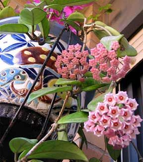 I am determined to have mine not only live, but fill my house with the sweet smell of its blooms!!!!!! Reminds me of the house I grew up in! - How To Grow, Care For And Bloom Hoya Plants
