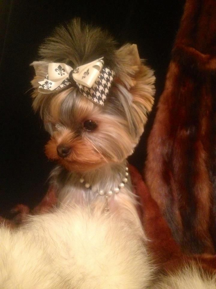 A most beautiful picture of a Yorkie