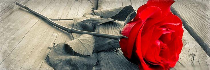 Rose Facebook Cover Photo