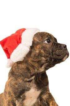 Bulldog, Pup, Christmas, Dog