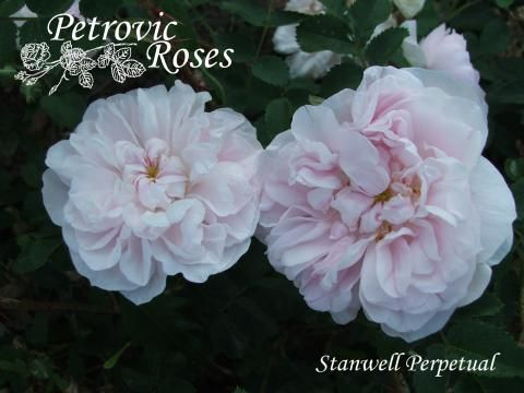Stanwell Perpetual | Petrovic Roses