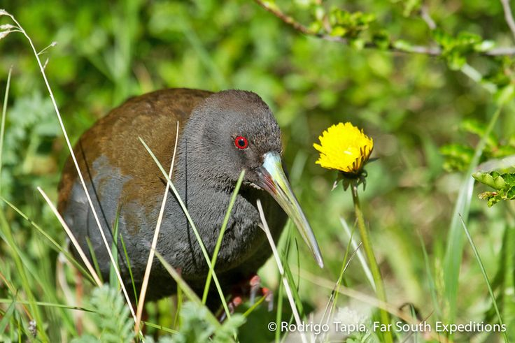 Stealthily moving among the vegetation in the bank of a stream in Torres del Paine national park in Chilean Patagonia, a Plumbeous Rail, Pardirallus sanguinolentus looks for invertebrate prey in the ground. This colourful rail spends most of the time deep into the shelter of aquatic vegetation from where it utters a loud whistling call, but sometimes walks right out in the open for brief periods of time. Photo© Rodrigo Tapia, Far South Expeditions  Read blog entry: http://bit.ly/1gbrwWu