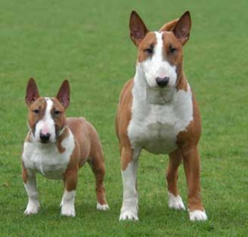 bull terrier miniatura y bull terrier standar : <BR>una foto de los dos bull terries que hay ...... <BR> <BR> <BR>bueno <BR> <BR>saludos | fyd_bulls