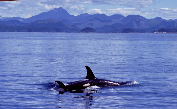 Ocean Pollution and Orcas.  How Our Plastic Pollution is Threatening Orca Populations