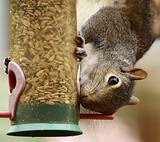 How to keep squirrels out of the bird feeder.  I'm going to try the cayenne pepper idea.