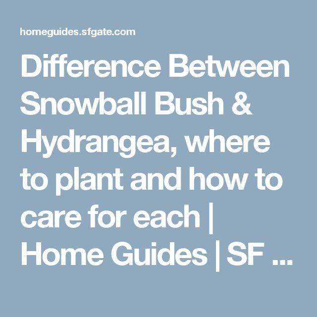 Difference Between Snowball Bush & Hydrangea, where to plant and how to care for each | Home Guides | SF Gate. --kwb