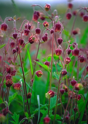 Geum rivale, Water avens. I love geums, but there's something they don't seem to like about this climate. I keep trying!