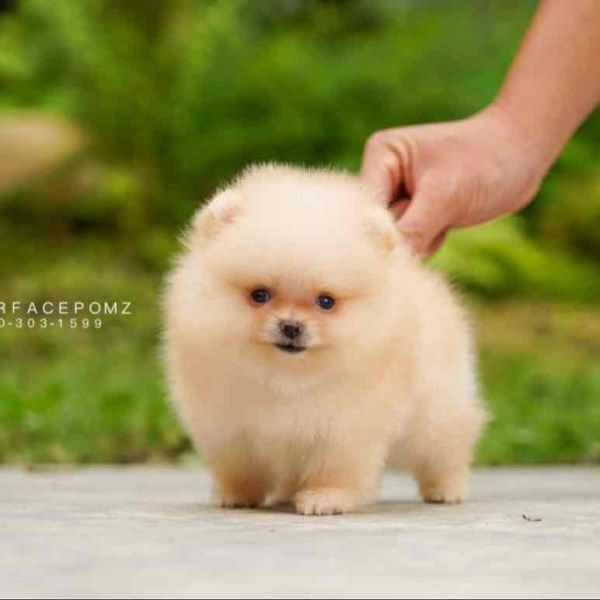 Dark Grey Female Teacup Pomeranian Puppies For Sale Teacuppomeranianpuppy Dark Grey Female Teacup P Spitz Welpen Teacup Pomeranian Puppy Teacup Pomeranian