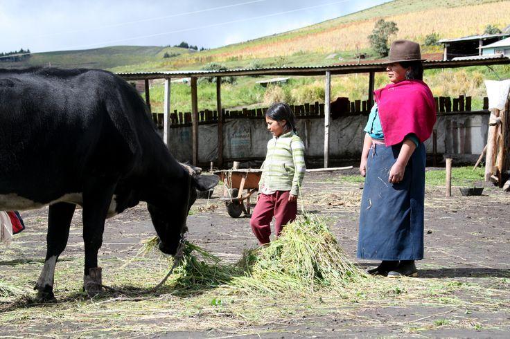 Marita y su nieta alimentan al ganado con pienso en Ecuador.