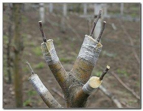 КАК ПРАВИЛЬНО ПРИВИТЬ НА ОДНУ ЯБЛОНЮ НЕСКОЛЬКО СОРТОВ (советы агронома)  Сохраните, чтобы не потерять!  Прививками я занимаюсь уже более 20 лет, мне это доставляет несказанное удовольствие. На каждом дереве у меня по нескольку сортов, это очень удобно и красиво. Представьте себе яблоню, на которой с одной стороны красные яблоки, с другой – желтые, с третьей – зеленые с красным бочком. Чудо!  Показать полностью…