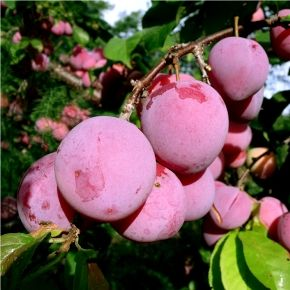 'Pembina' Plum tree