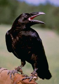 corvo.jpg (200×283)
