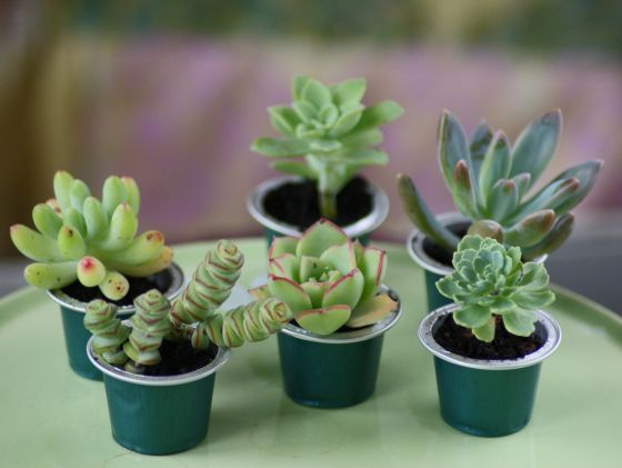 Sukkulente in Kaffeekapseln Succulents in Espresso-capsules DIY deko