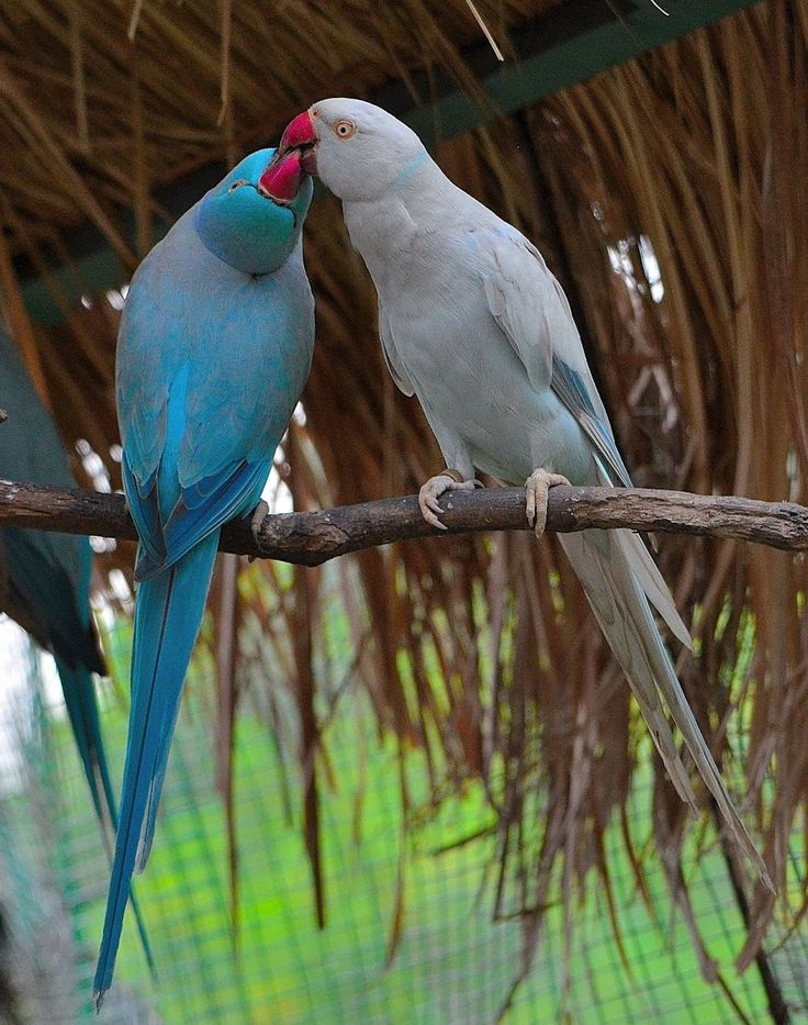 Blue and Grey Mutations of the Rose-ringed Parakeet.