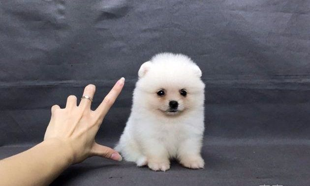 Pomeranian Puppy For Sale In Los Angeles Ca Adn 60264 On Puppyfinder Com Gender Female Age 6 W Pomeranian Puppy For Sale Puppies For Sale Pomeranian Puppy
