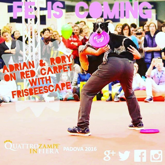 """Great show of European Champion Adrian Stoica with Rory on red carpet in """"4 Zampe in Fiera"""". Passion, energy and awesome tricks with @frisbeescape equipment. Soon available on our store.  For information and release contact us at : Info@frisbeescape.com  #k9sport #dogsport #dogs #discdog. #flydog #adrianstoica #frisbeescape #fe #fetch #fetchdog #tricks #border. #bordercollie #rory #vaultvest #discs #addict #colorful #playdogs. #play"""