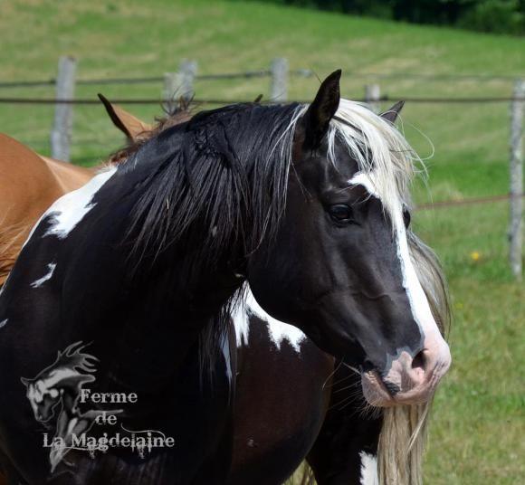 Etalon paint horse black tobiano à vendre