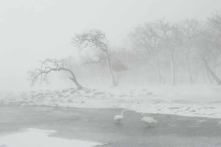 06 February 2010 Hokkaido, Japan Swans are grounded by a blizzard that freezes the lake.