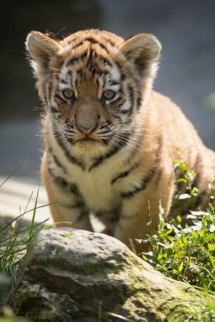 Tiger Cub by A.J. Haverkamp, via Flickr