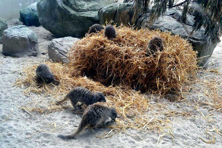 Photograph: The Meerkat Family; Date: February 12, 2016; Location: Dublin Zoo, Phoenix Park, Dublin; Photographer: Jedd Cabreza Photography