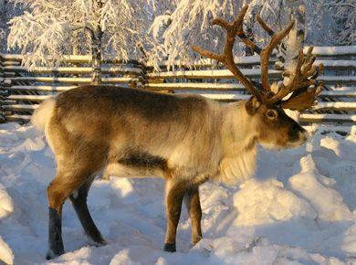 Reindeer in Lapland in Finland