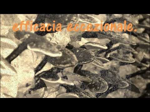Ganoderma Lucidum easyway - YouTube