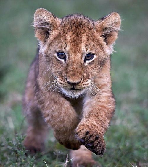 Lion Cub by austinthomasphotography