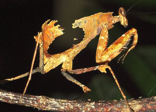 DEAD LEAF MANTIS (Acanthops falcata): Mantis Fever, Mantis Acanthop, Orange Mantis, Dead Leaf Mantis, Mantis Etc, Leaf Mantid, Natural Grand, Mantis Orquídea, Praying Mantis