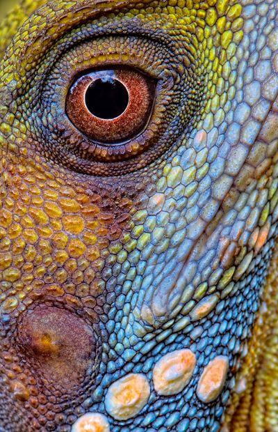 A Boyd's rainforest dragon (Hypsilurus boydii) camouflaged in sun-dappled rainforest. by Kaisa and Stanley Breeden