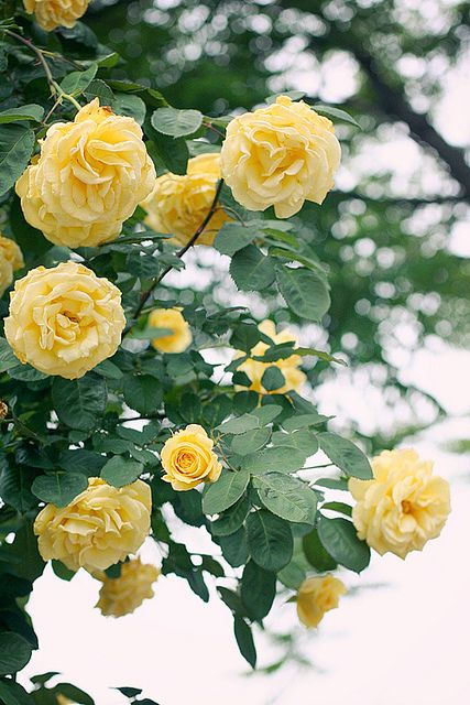 Summer Roses | In The Garden | Pinterest | Yellow roses, Colorful roses and Flowers