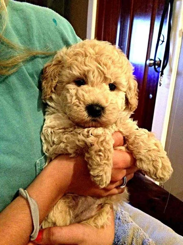 Past goldendoodle puppies -     Adorable goldendoodles