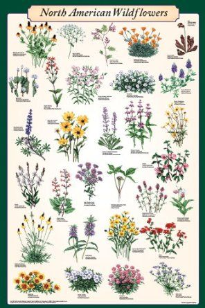 These posters are great for North American Wildflower Identification. Perfect for the classroom!
