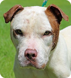 10/06/16 SL~~~Pictures of Henry a American Pit Bull Terrier Mix for adoption in Newport, NC who needs a loving home. Arrived at the shelter on 07/15/16