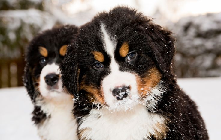 Serious, we have -20 today and You? - Two bernese mountain dog puppest looking at camera