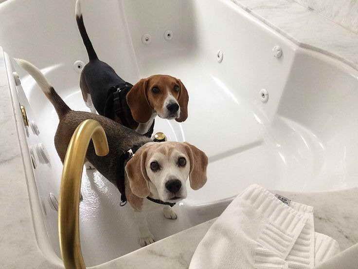 American Beagle Board Dog Breeds American Beagle Pet Breeds