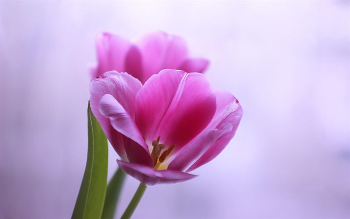 Download wallpapers pink tulip, spring, purple background, beautiful spring flowers, tulips