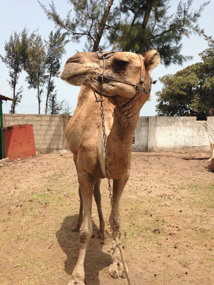 African camel