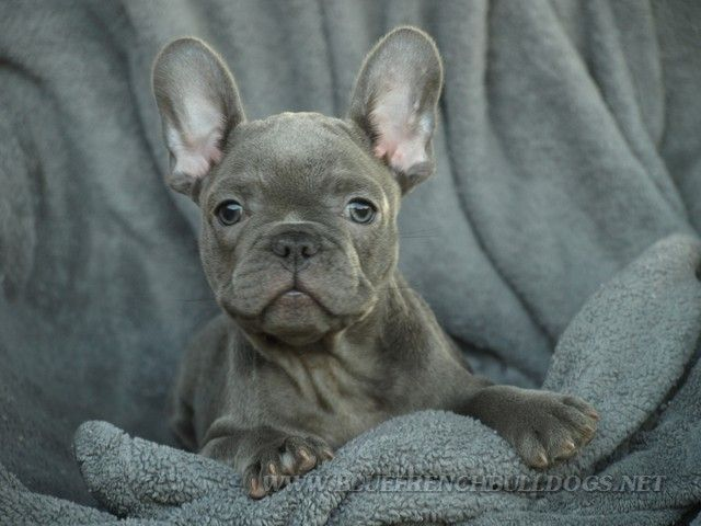 There are several things that many people simply do not know about the blue french bulldog, but we are here to give you that information.