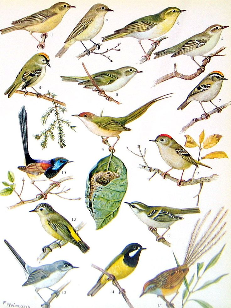 Bird Print Goldcrest Willow Warbler Thornbill Flycatcher
