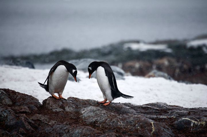 Penguins by Camille Seaman