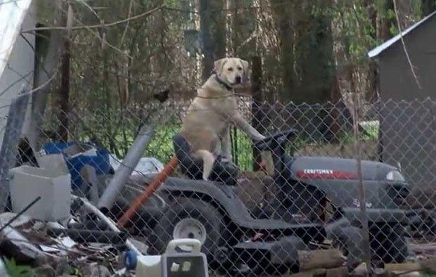 Repórter se atrapalha após flagrar cão dirigindo 'cortador de grama' (Foto: Reprodução/Facebook/KYTX CBS19)