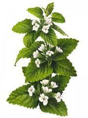 melissa officinalis in flower