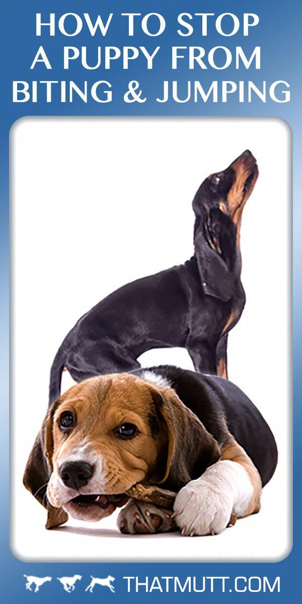 Beagle Training Beagle Dog Training Dog Training Tips
