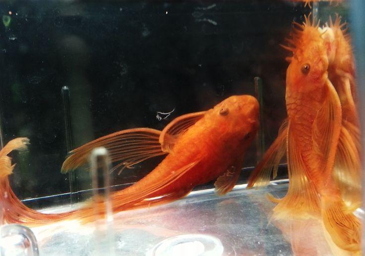 super red pleco longfin - Google Search | Bristlenose Plecos | Pinterest | Google search, Fish ...