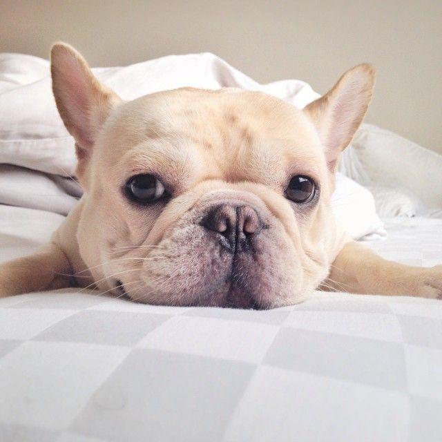 frenchiebutt, the French Bulldog, photo on Instagram.