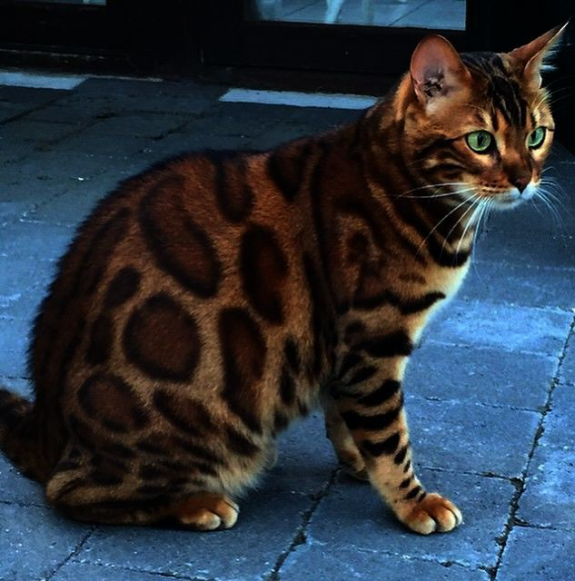 Excellent Beautiful Cats For Sale In London Facebook Beautiful Cats Cats And Kittens Kittens